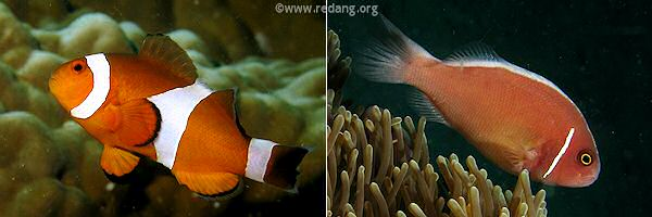 pink tip anemone eating fish