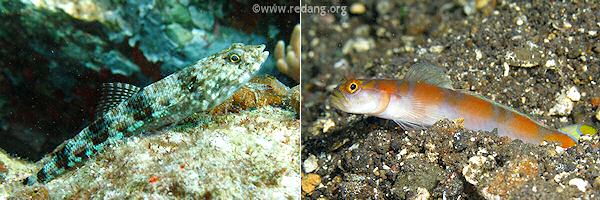 gobies, blenny and lizardfish