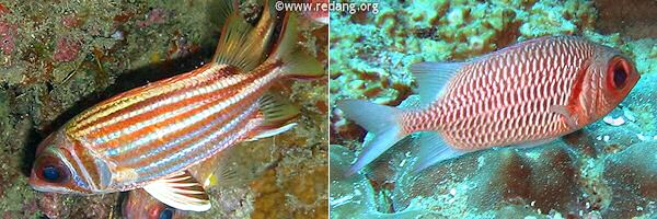 soldierfish and squirrelfish