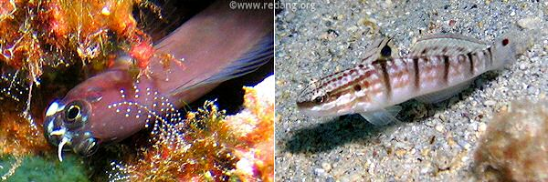 goby and blenny