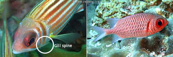 gill spine on squirrelfish