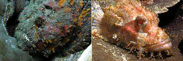 stonefish and scorpionfish