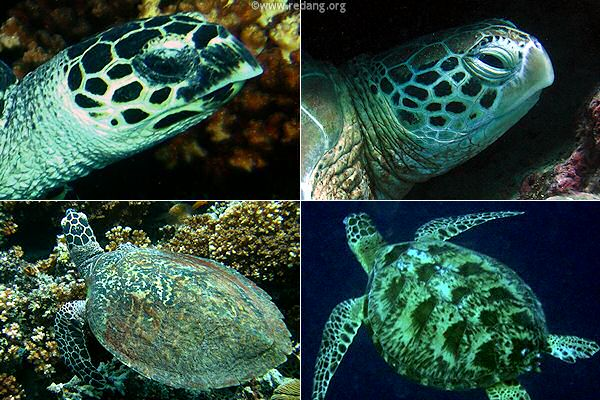 turtle distinguishing features